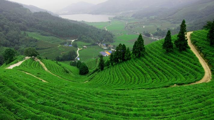 the-dragon-well-tea-fields